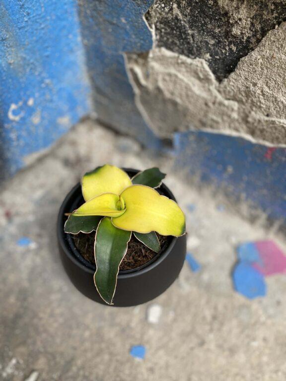 Zdjęcie Sansevieria Star Canary w kategorii rośliny, ujęcie 1