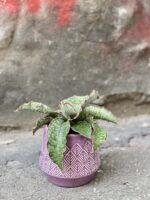 Zdjęcie Sansevieria Star Green Granite w kategorii rośliny, ujęcie 1