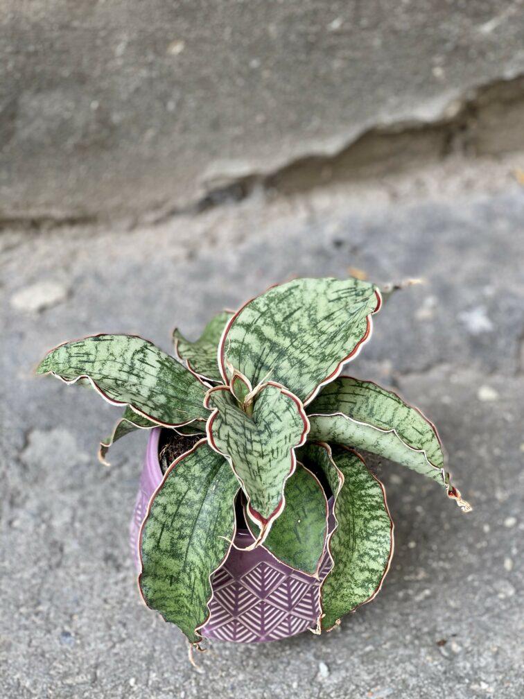 Zdjęcie Sansevieria Star Green Granite w kategorii rośliny, ujęcie 2