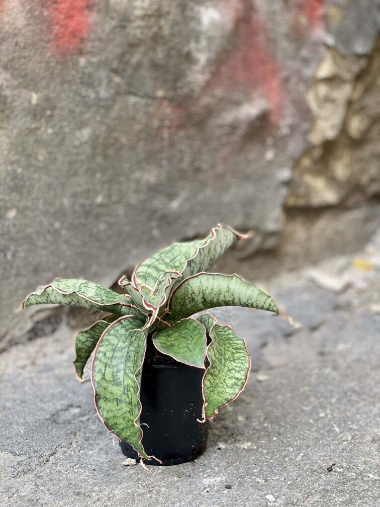 Zdjęcie Sansevieria Star Green Granite w kategorii rośliny, ujęcie 3