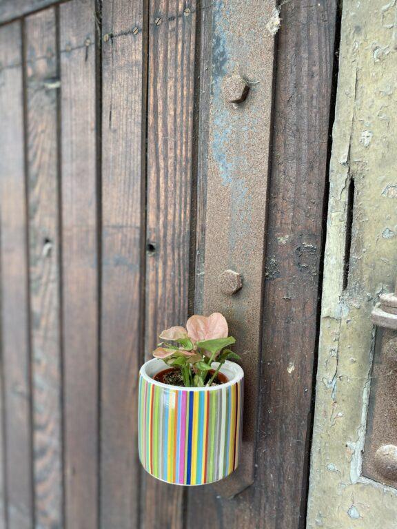 Zdjęcie rośliny Syngonium Neon Robusta, ujęcie 2