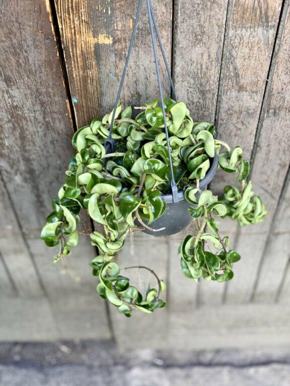 Zdjęcie rośliny Hoya carnosa compacta, ujęcie 1