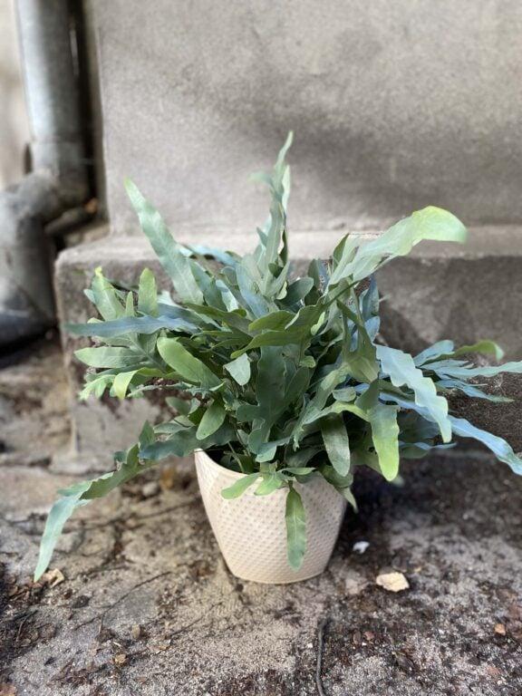 """Zdjęcie rośliny Phlebodium aureum """"Blue Star"""", ujęcie 1"""