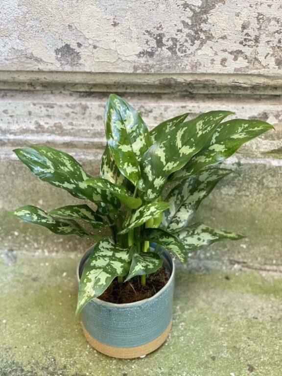 Zdjęcie rośliny Aglaonema Gemini, ujęcie 1