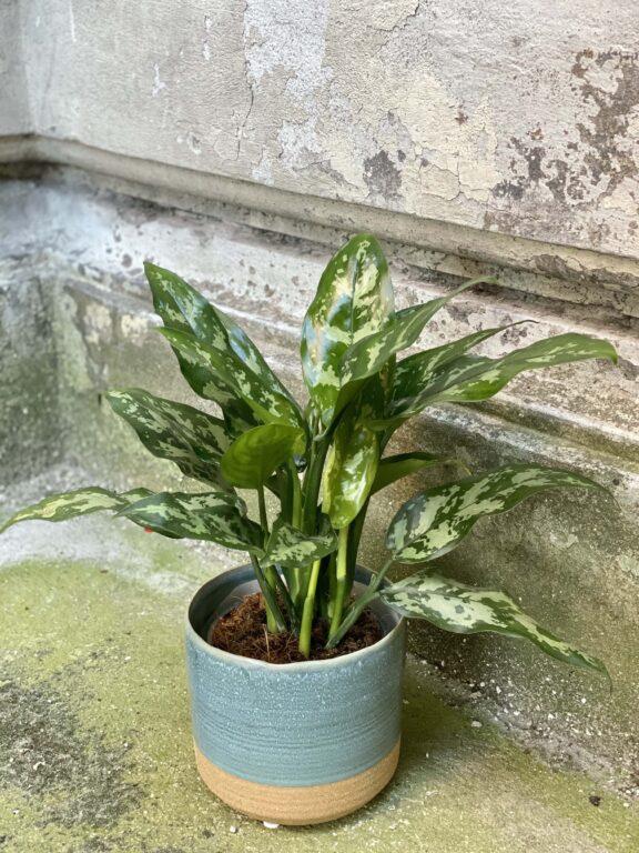 Zdjęcie rośliny Aglaonema Gemini, ujęcie 2