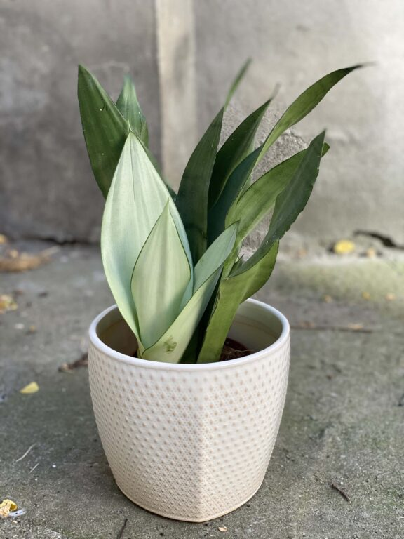 Zdjęcie rośliny Sansevieria Moonshine, ujęcie 1