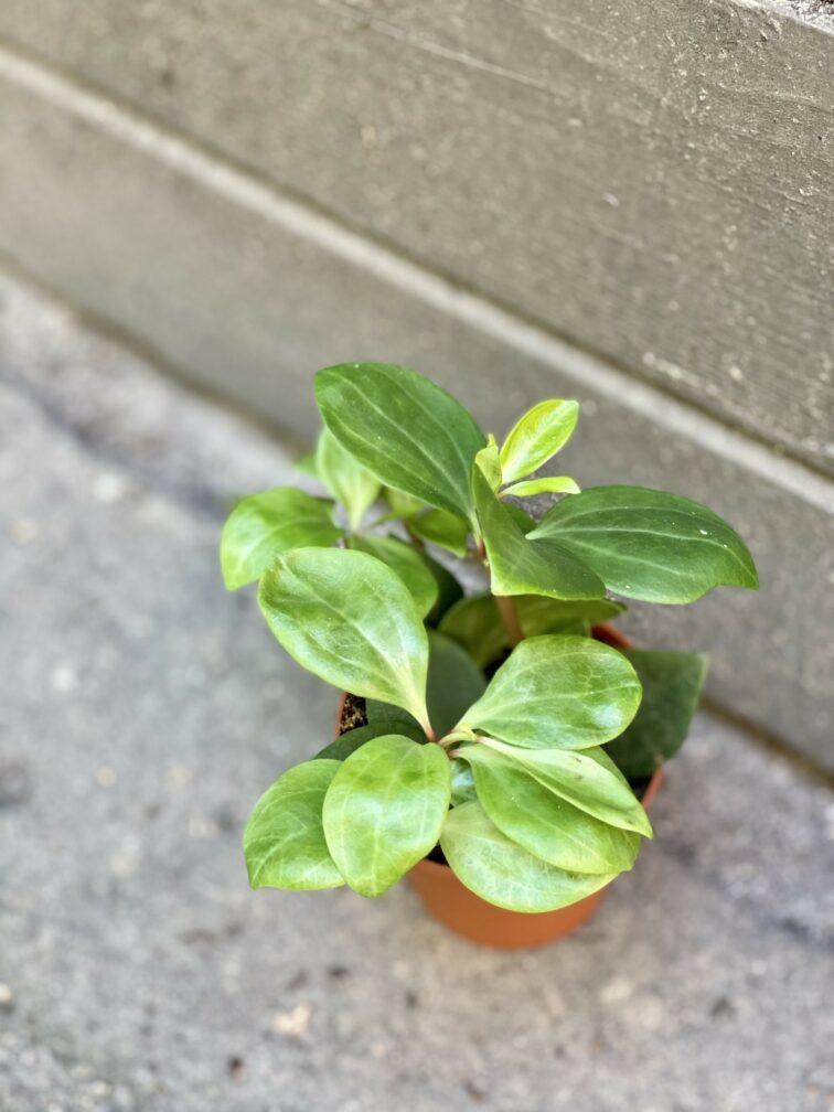 Zdjęcie rośliny Peperomia pereskiifolia, ujęcie 1