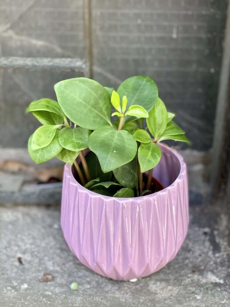 Zdjęcie rośliny Peperomia pereskiifolia, ujęcie 2