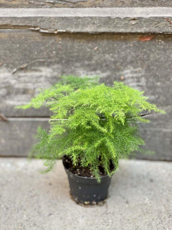 Zdjęcie rośliny Asparagus Plumosus, ujęcie 2