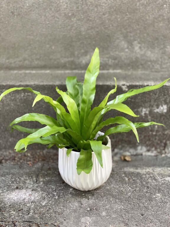 Zdjęcie rośliny Asplenium antiquum, ujęcie 1