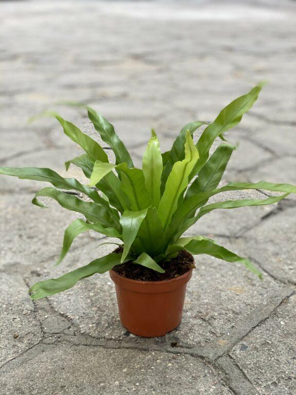 Zdjęcie rośliny Asplenium antiquum, ujęcie 2