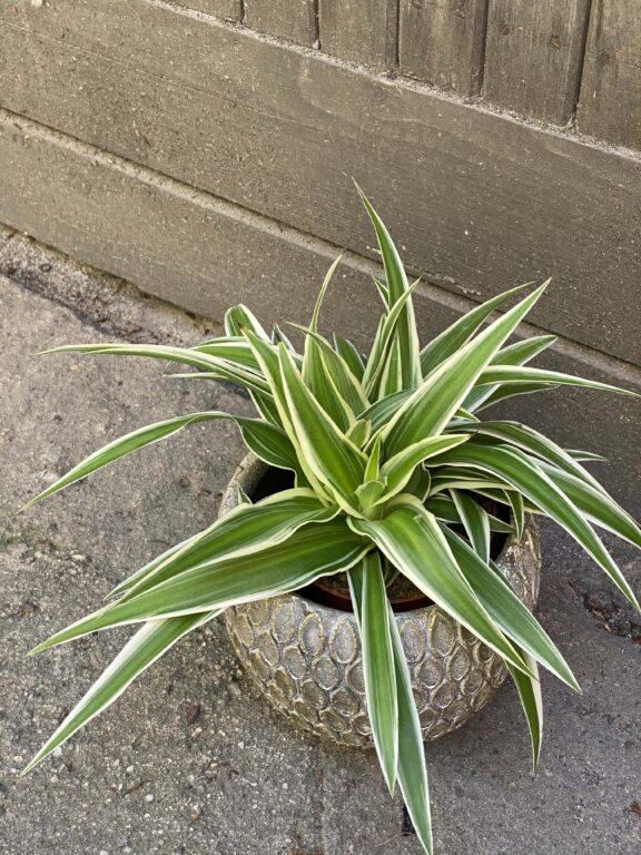 Zdjęcie rośliny Chlorophytum comosum Ocean (Zielistka), ujęcie 1