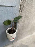 Zdjęcie rośliny Alocasia Yucatan Princess, ujęcie 1