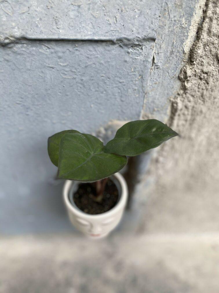 Zdjęcie rośliny Alocasia Yucatan Princess, ujęcie 2