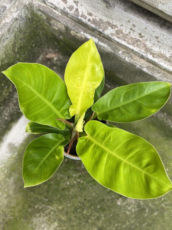 Zdjęcie rośliny Philodendron Moonlight, ujęcie 2