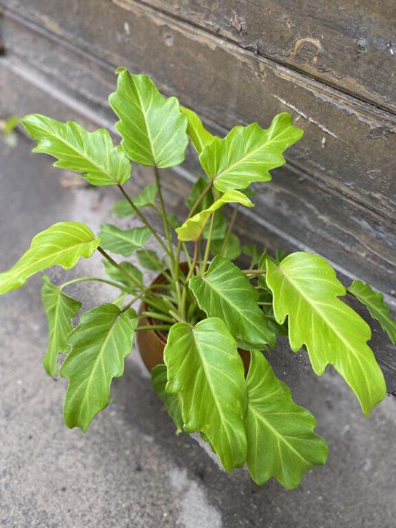 Zdjęcie rośliny Philodendron Xanadu Gold, ujęcie 1