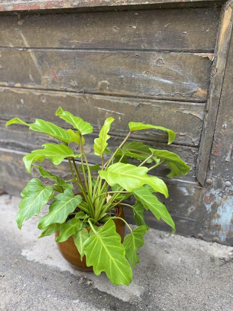 Zdjęcie rośliny Philodendron Xanadu Gold, ujęcie 3