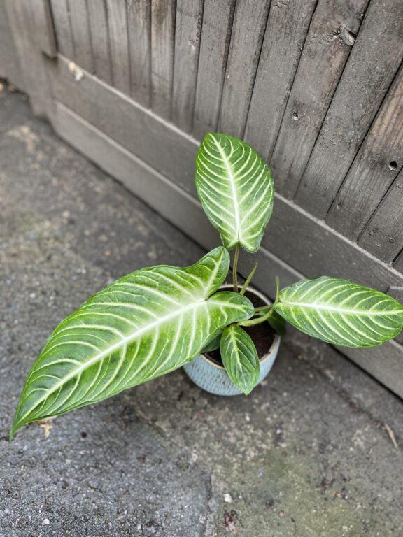 Zdjęcie rośliny Xanthosoma Lindenii, ujęcie 2
