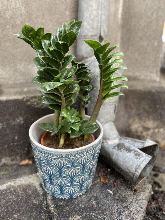 Zdjęcie rośliny Zamioculcas Zenzi, ujęcie 1