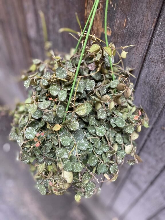 Zdjęcie rośliny Hoya Curtisii, ujęcie 1