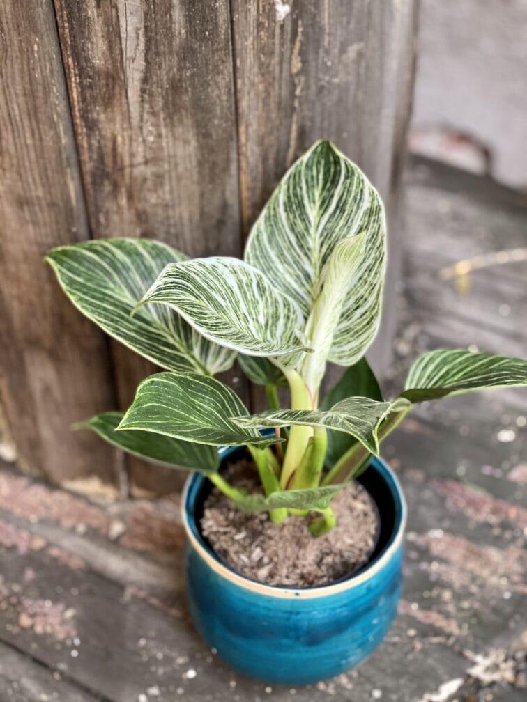 Zdjęcie rośliny Philodendron Birkin, ujęcie 3