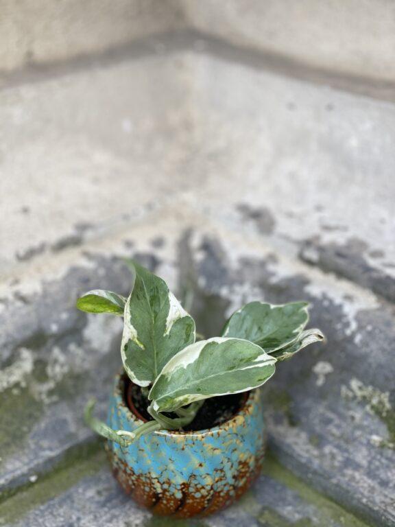 Zdjęcie rośliny Epipremnum Perls and Jade, ujęcie 1