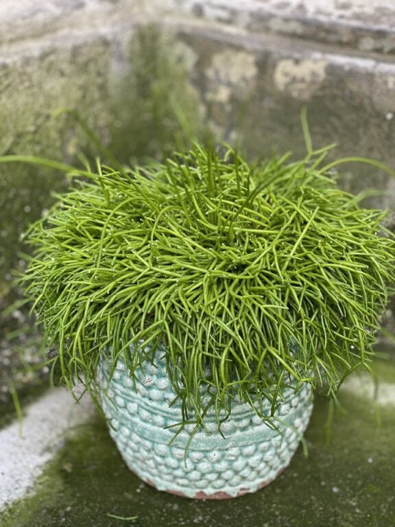 Zdjęcie rośliny Rhipsalis Baccifera Oasis (Patyczak), ujęcie 1