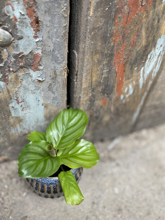 Zdjęcie rośliny Calathea Orbifolia, ujęcie 1