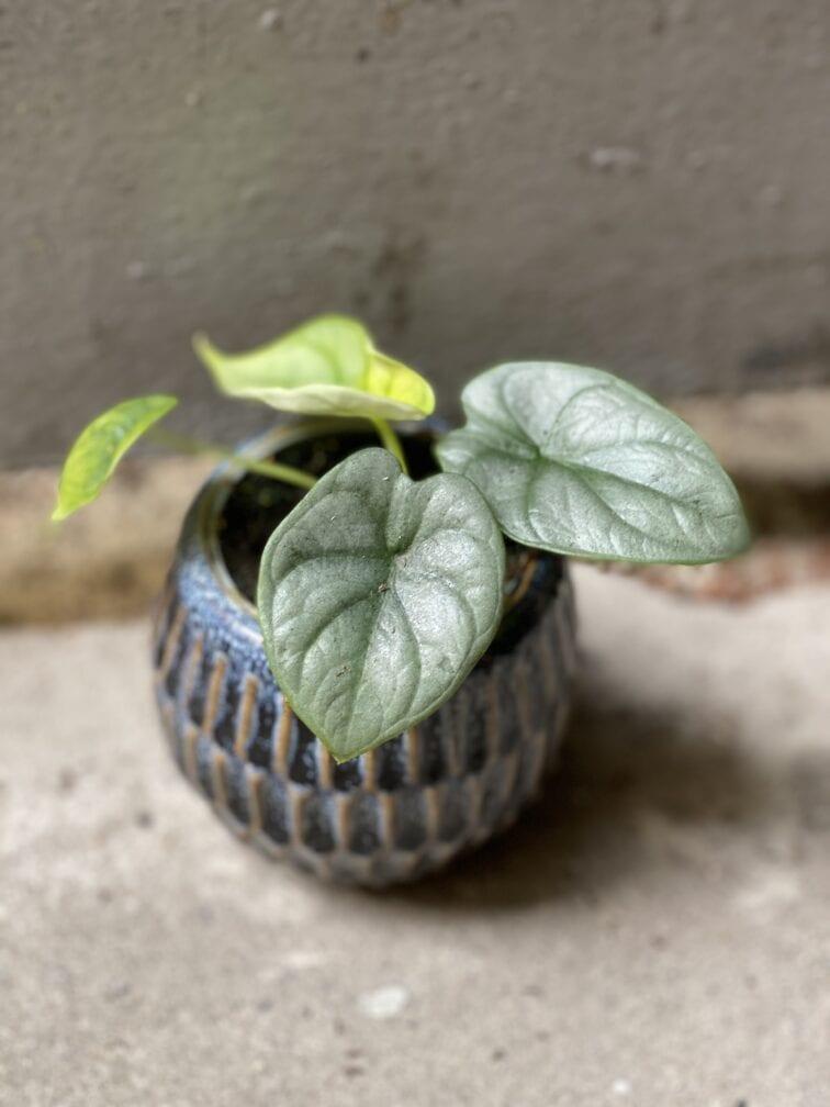 Zdjęcie rośliny Alocasia Silver Dragon, ujęcie 1