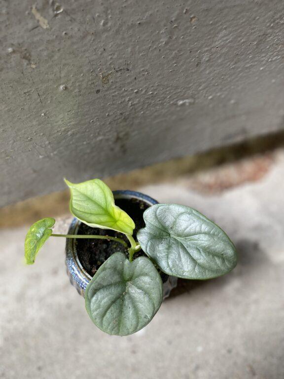 Zdjęcie rośliny Alocasia Silver Dragon, ujęcie 2