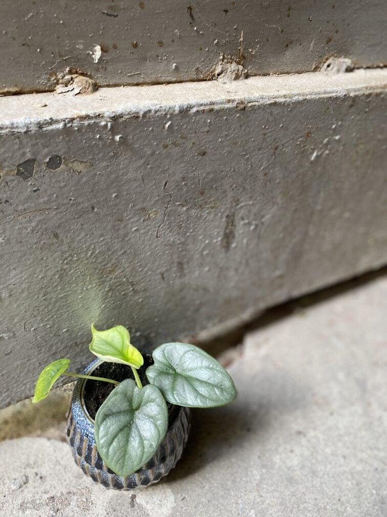 Zdjęcie rośliny Alocasia Silver Dragon, ujęcie 3