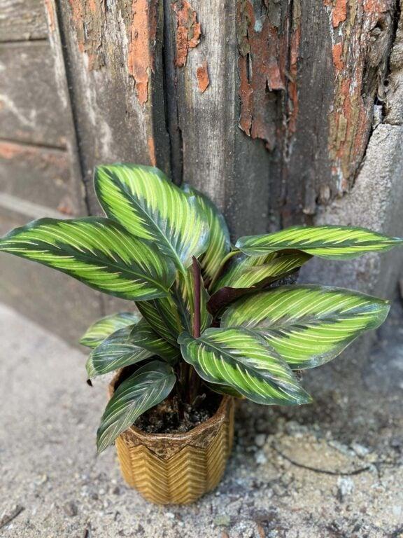 Zdjęcie rośliny Calathea Beauty Star, ujęcie 1