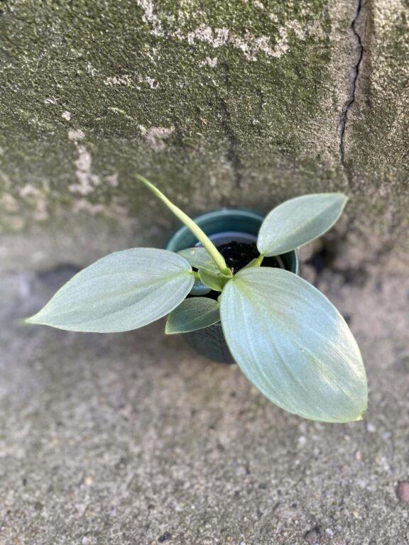 Zdjęcie rośliny Philodendron Hastatum, ujęcie 1