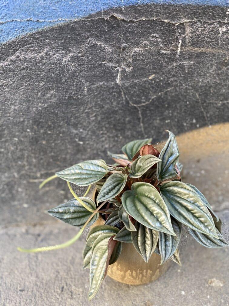 Zdjęcie rośliny Peperomia Silver Shine, ujęcie 1
