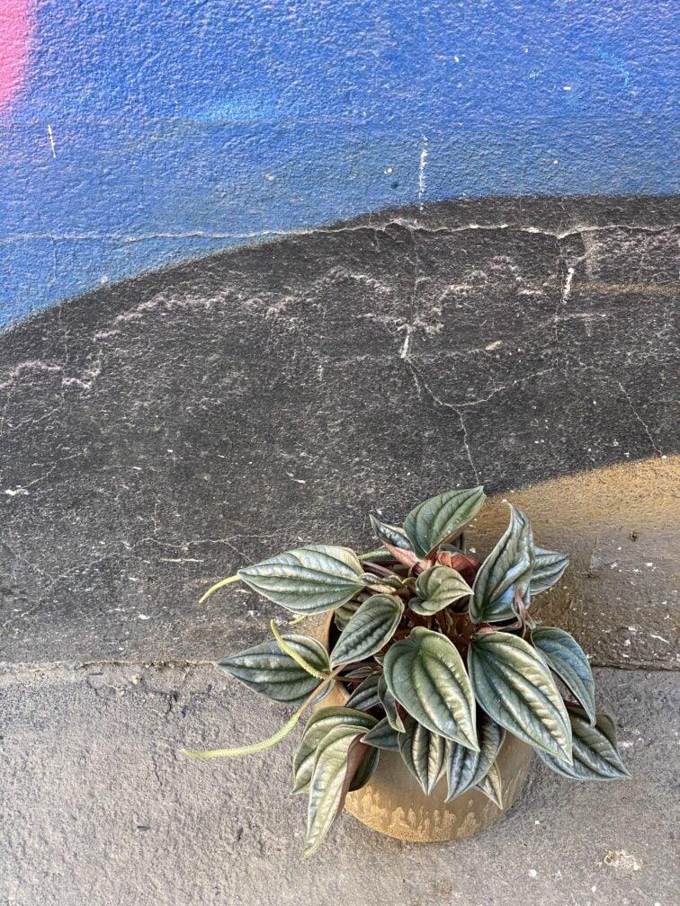 Zdjęcie rośliny Peperomia Silver Shine, ujęcie 3
