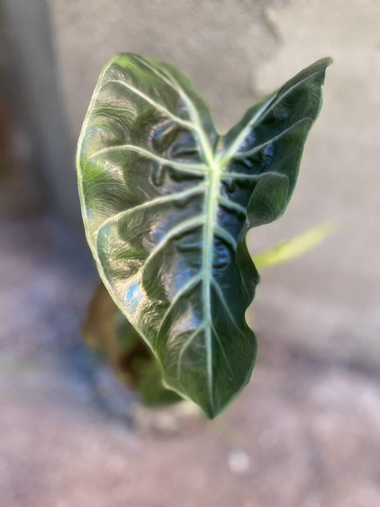 Zdjęcie rośliny Alocasia Pink Dragon, ujęcie 2