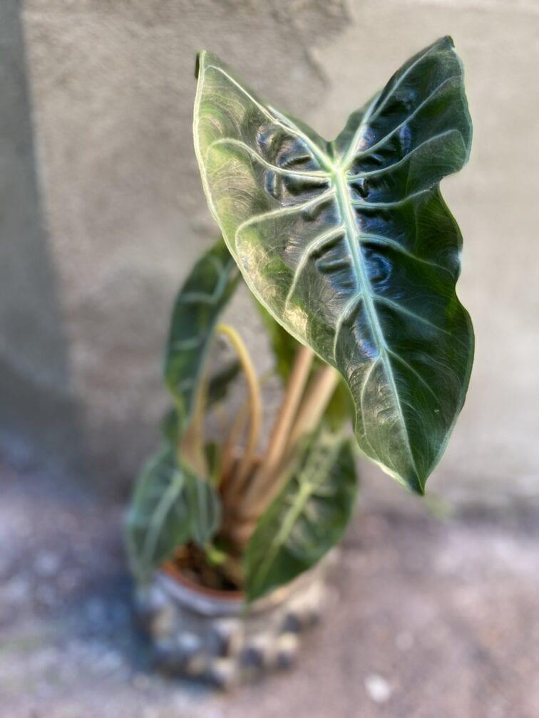 Zdjęcie rośliny Alocasia Pink Dragon, ujęcie 3
