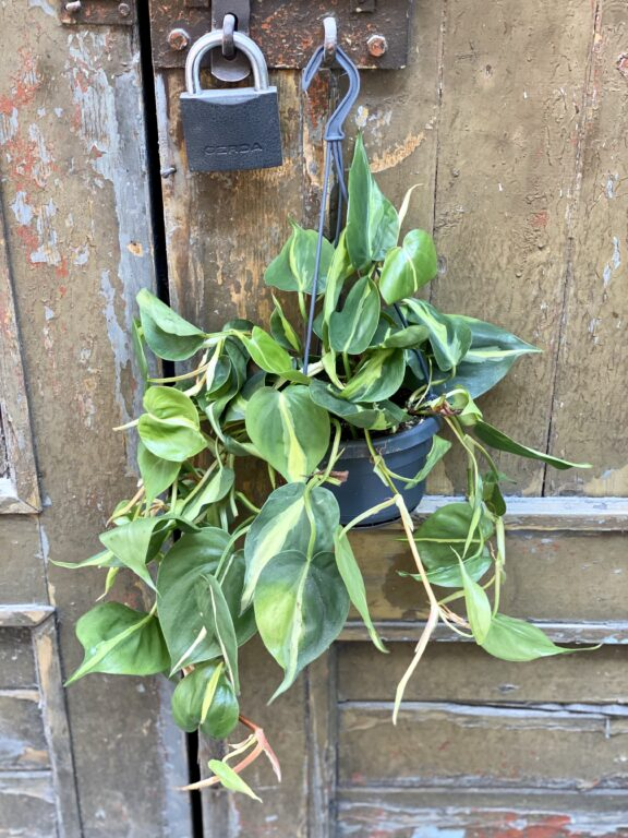 Zdjęcie rośliny Philodendron Brasil, ujęcie 2
