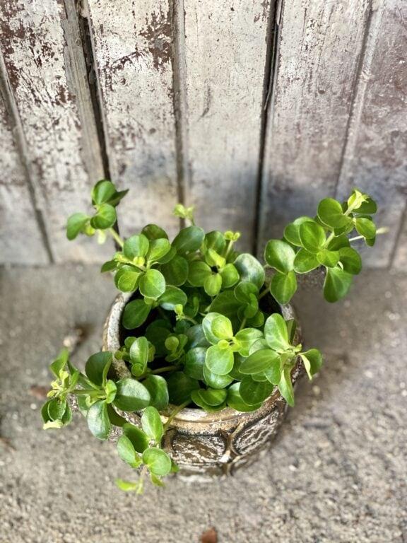 Zdjęcie rośliny Peperomia rotundifolia, ujęcie 1