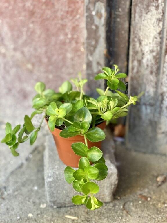 Zdjęcie rośliny Peperomia rotundifolia, ujęcie 2