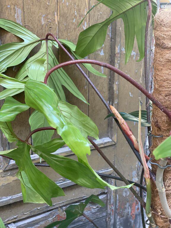 Zdjęcie rośliny Philodendron Florida Green, ujęcie 2