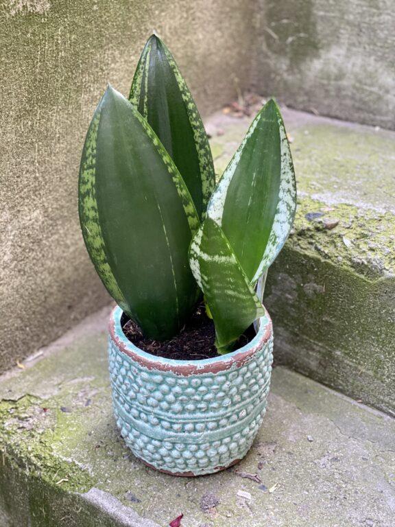 Zdjęcie rośliny Sansevieria trifasciata Silver Flame, ujęcie 1