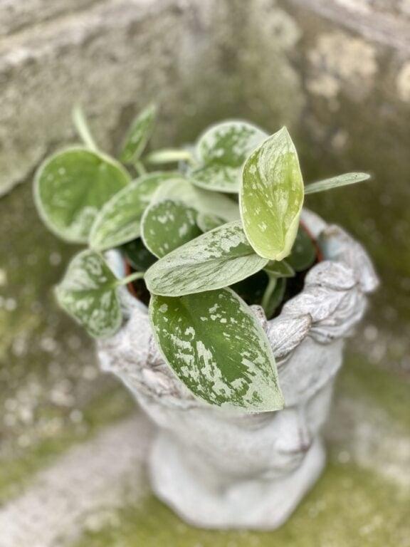 Zdjęcie rośliny Scindapsus pictus Silvery Ann, ujęcie 1