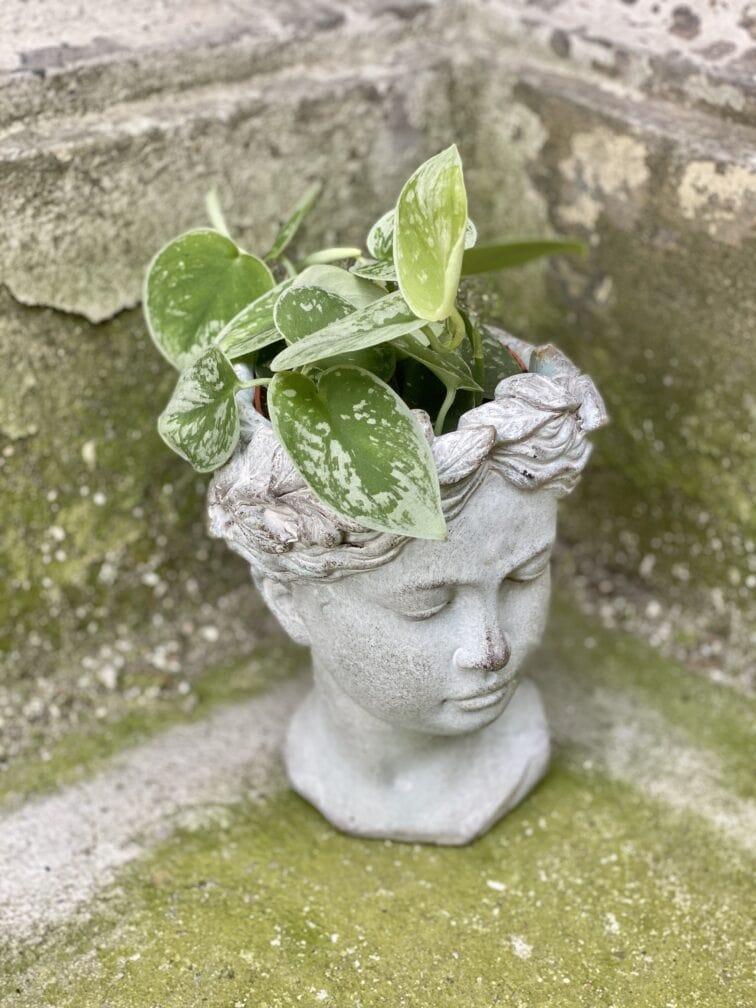 Zdjęcie rośliny Scindapsus pictus Silvery Ann, ujęcie 3
