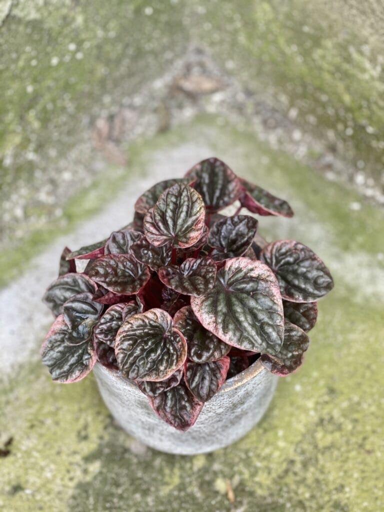 Zdjęcie rośliny Peperomia Caperata Abricos, ujęcie 1