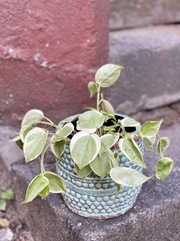 Zdjęcie rośliny Pepperomia scandens Variegata, ujęcie 1