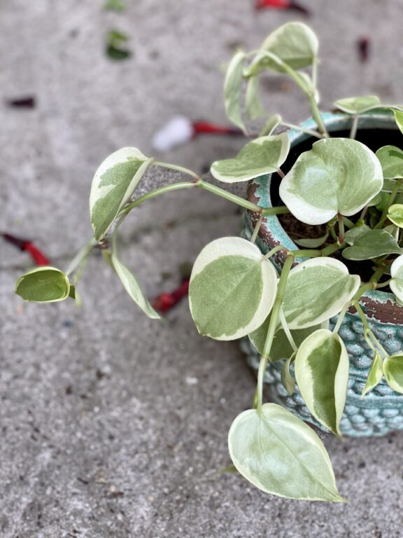 Zdjęcie rośliny Pepperomia scandens Variegata, ujęcie 2