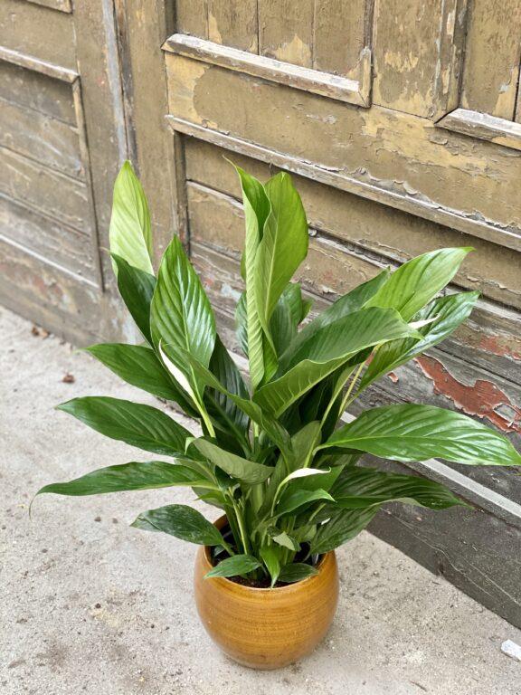 Zdjęcie rośliny Spathiphyllum Bingo Cupido, ujęcie 1