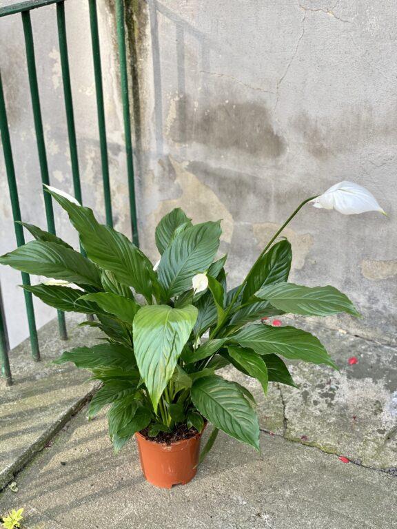 Zdjęcie rośliny Spathiphyllum Vivaldi, ujęcie 1