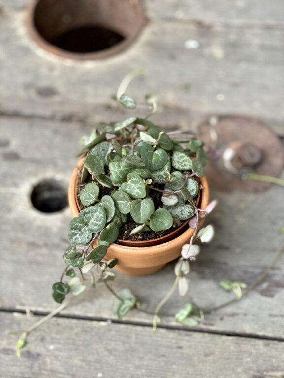 Zdjęcie rośliny Ceropegia woodi, ujęcie 2